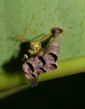 Paper Wasp Starting Nest Panama
