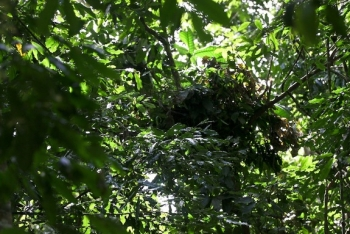 Chimpanzee Nest
