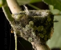 Hummingbrid Nest