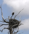 Bald Eagle Nest in Dead Tree