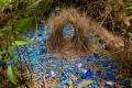 Bower Bird Love Nest
