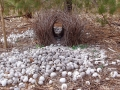 Bower Bird Shell Love Nest
