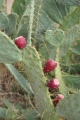 Arcosanti Prickly Pear Fruit