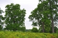 Poplar Forest Poplar Trees